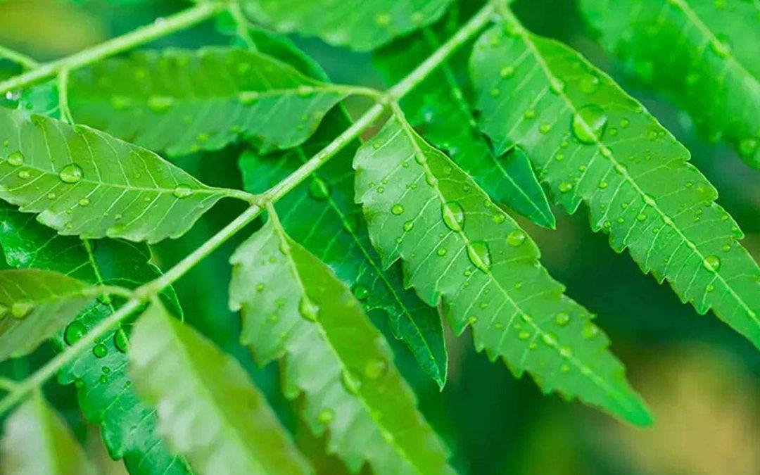 neem- Azadirachta induca an ayurvedic herb