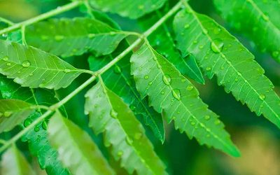 Neem (Azadirachta induca)- a great herb in Ayurveda